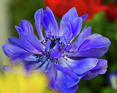 Photograph - Anemone Blue by Nancy Kirkpatrick