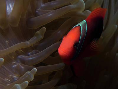 Photograph - Anemone Fish by Mauricio Riquelme