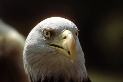 Photograph - Angry Bald Eagle by Carl Purcell