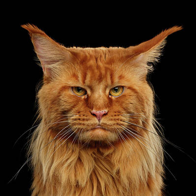 Black Cat Photograph - Angry Ginger Maine Coon Cat Gazing On Black Background by Sergey Taran