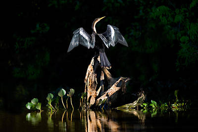 Anhinga Photograph - Anhinga Anhinga Anhinga, Pantanal by Panoramic Images
