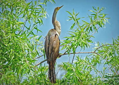 Photograph - Anhinga Branching Out by Judy Kay