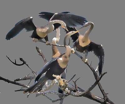 Photograph - Anhinga Feeding Time Transparency by Richard Goldman
