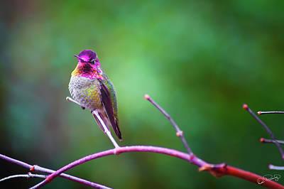 Photograph - Anna Hummingbird Vii by Dee Browning