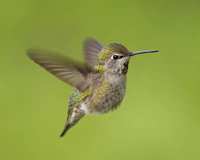 Anna's Hummingbird Art Print by Doug Herr