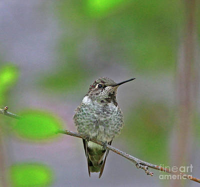 Wall Art - Photograph - Anna's Hummingbird by Gary Wing