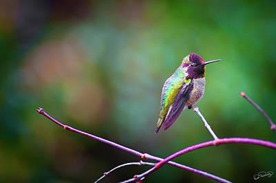Photograph - Anna's Hummingbird X by Dee Browning