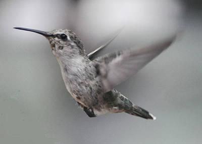 Photograph - Anna's  Hummingbird In Flight by Jay Milo