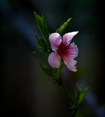 Apple Blossom Art Print by Martin Morehead