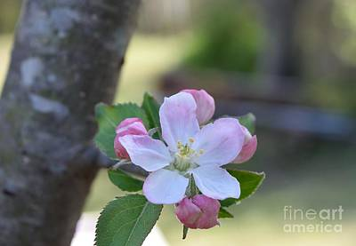 Photograph - Apple Blossom by Renee Olson