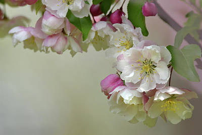 Photograph - Apple Blossoms  by Ann Bridges