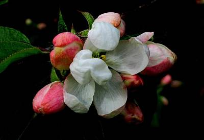 Photograph - Apple Blossoms by Karen Molenaar Terrell