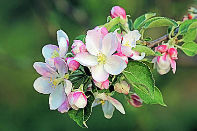 Photograph - Apple Blossoms by Kristin Elmquist