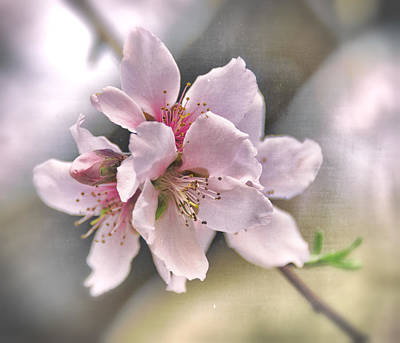 Photograph - Apple Blossoms  by Saija Lehtonen
