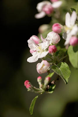 Photograph - Apple Flower And Buds by Bernard Lynch