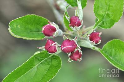 Photograph - Apple Malus Scrumptious by Colin Varndell