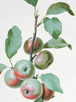 Ripe Drawing - Apples by Pierre Joseph Redoute
