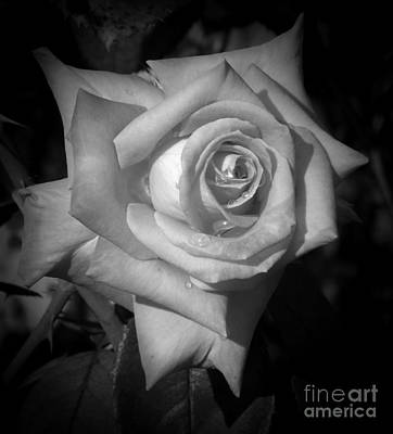 Photograph - Apricot Nectar Rose by Sara Raber
