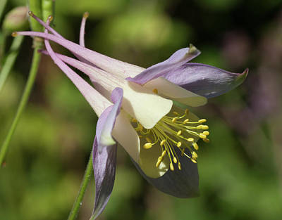 Photograph - Aquilegia by Richard Thomas