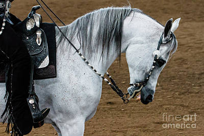 Photograph - Arabian Show Horse 2 by Ben Graham