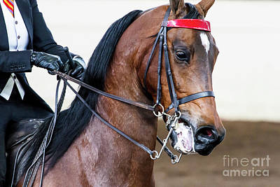 Photograph - Arabian Show Horse 5 by Ben Graham