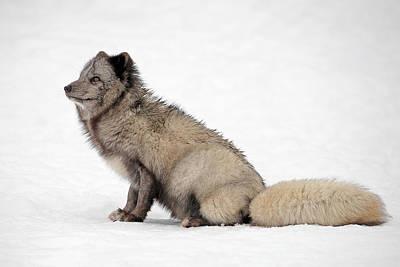 Photograph - Arctic Fox by Grant Glendinning
