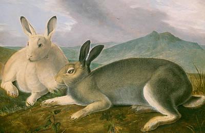 Rabbit Art Painting - Arctic Hare by John James Audubon
