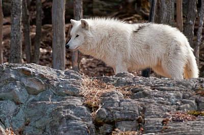 Arctic Wolf Print by Michael Cummings