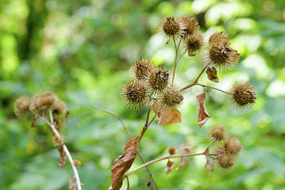 Greater Burdock Photograph - Arctium Lappa With Fruit by Alain De Maximy