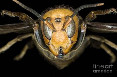 Photograph - Asian Giant Hornet Head by Lawrence Lawry