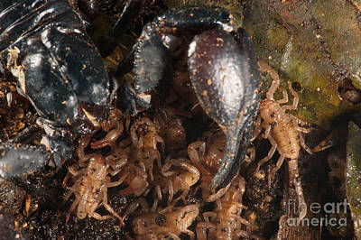 Photograph - Asian Scorpion With Young by Francesco Tomasinelli