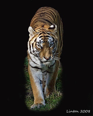 Asian Tiger Art Print