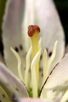 Photograph - Asiatic Lily Named Spring Pink by J McCombie