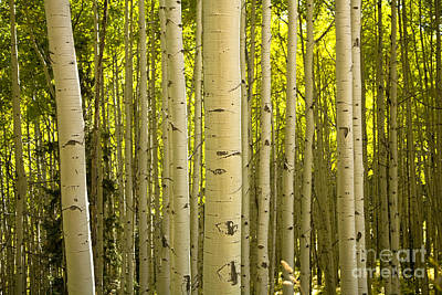 Photograph - aspen Stand by Timothy Johnson