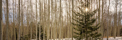 Photograph - Aspens In Winter 1 Panorama - Santa Fe National Forest New Mexico by Brian Harig