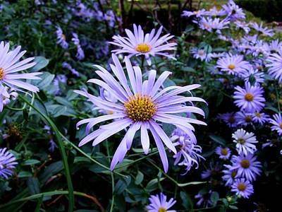 Photograph - Asters by Michiale Schneider