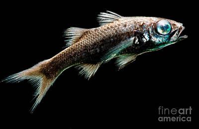 Pelagos Photograph - Atlantic Pelagic Basslet by Dant� Fenolio