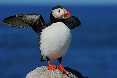 Photograph - Atlantic Puffin by Tony Beck