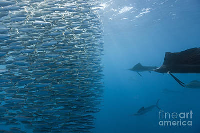 Atlantic Sailfish And Sardines Art Print