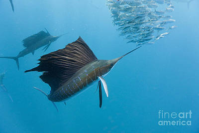 Atlantic Sailfish Art Print