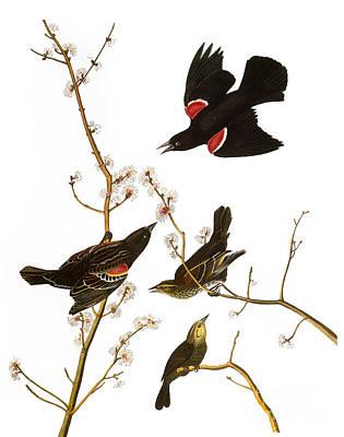 Photograph - Audubon: Blackbird, (1827) by Granger