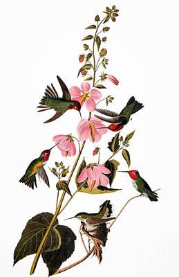 Photograph - Audubon: Hummingbird by Granger