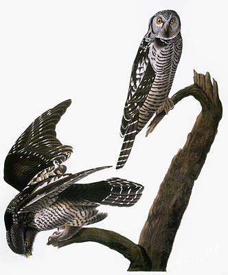 Photograph - Audubon: Owl by Granger