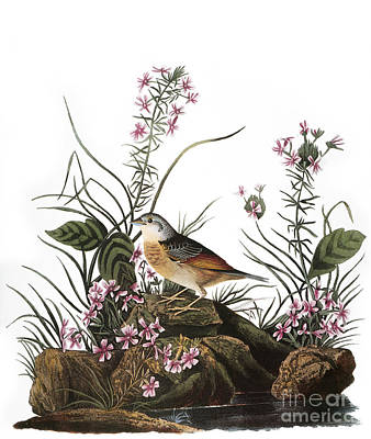 Photograph - Audubon: Sparrow, (1827-38) by Granger