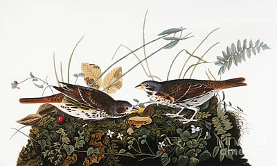 Photograph - Audubon: Sparrow by Granger