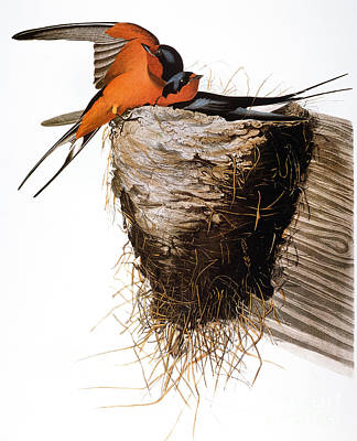 Audubon: Swallow Art Print by Granger