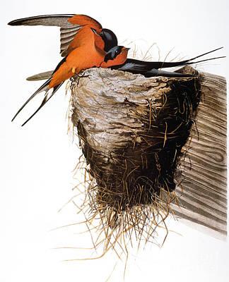 Photograph - Audubon: Swallow by Granger