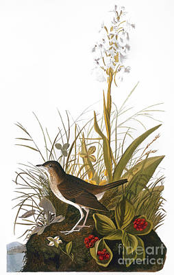 Photograph - Audubon: Thrush by Granger