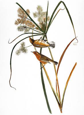Photograph - Audubon: Warbler, (1827) by Granger