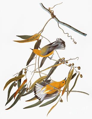 Photograph - Audubon: Warbler by Granger